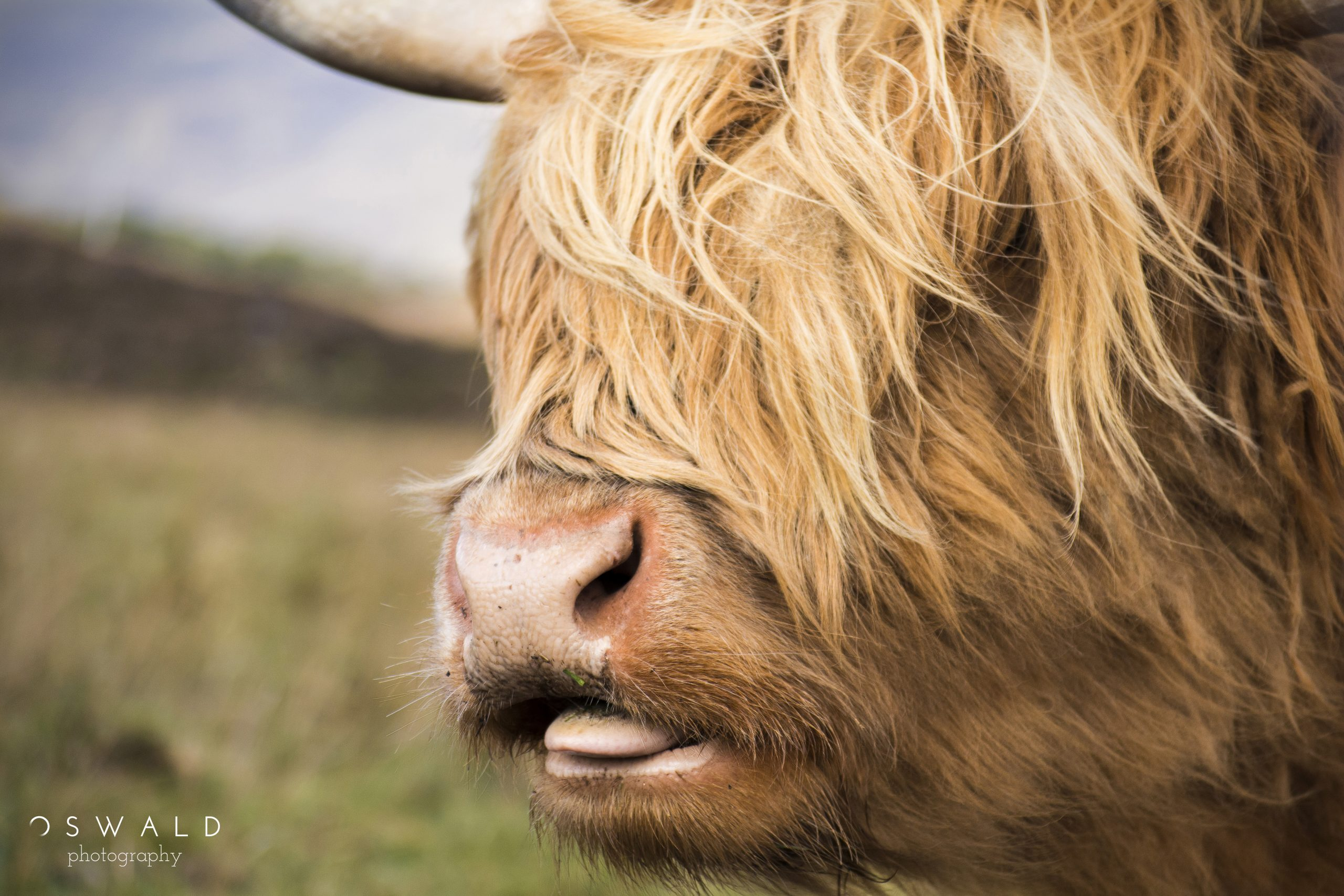 A Highland cow, or hairy cow, on the Isle of Skye in Scotland enjoying his grassy meal.