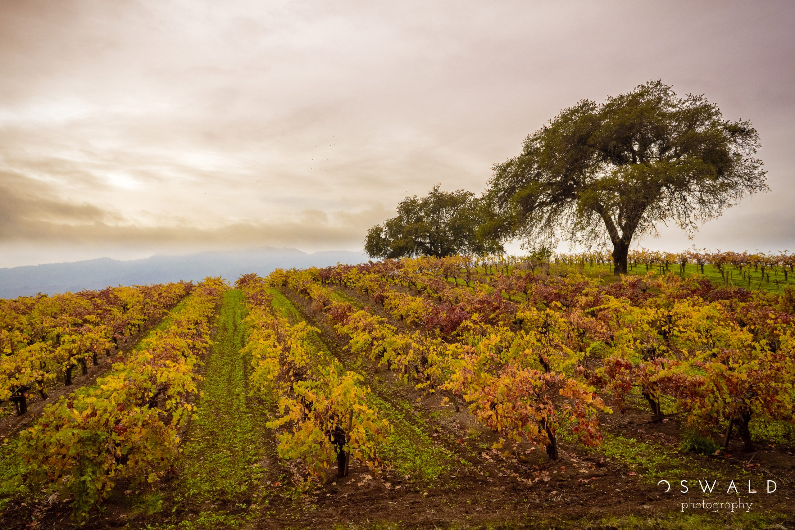 A dense patch of clouds blows a canopy over a vineyard in Sonoma, California.