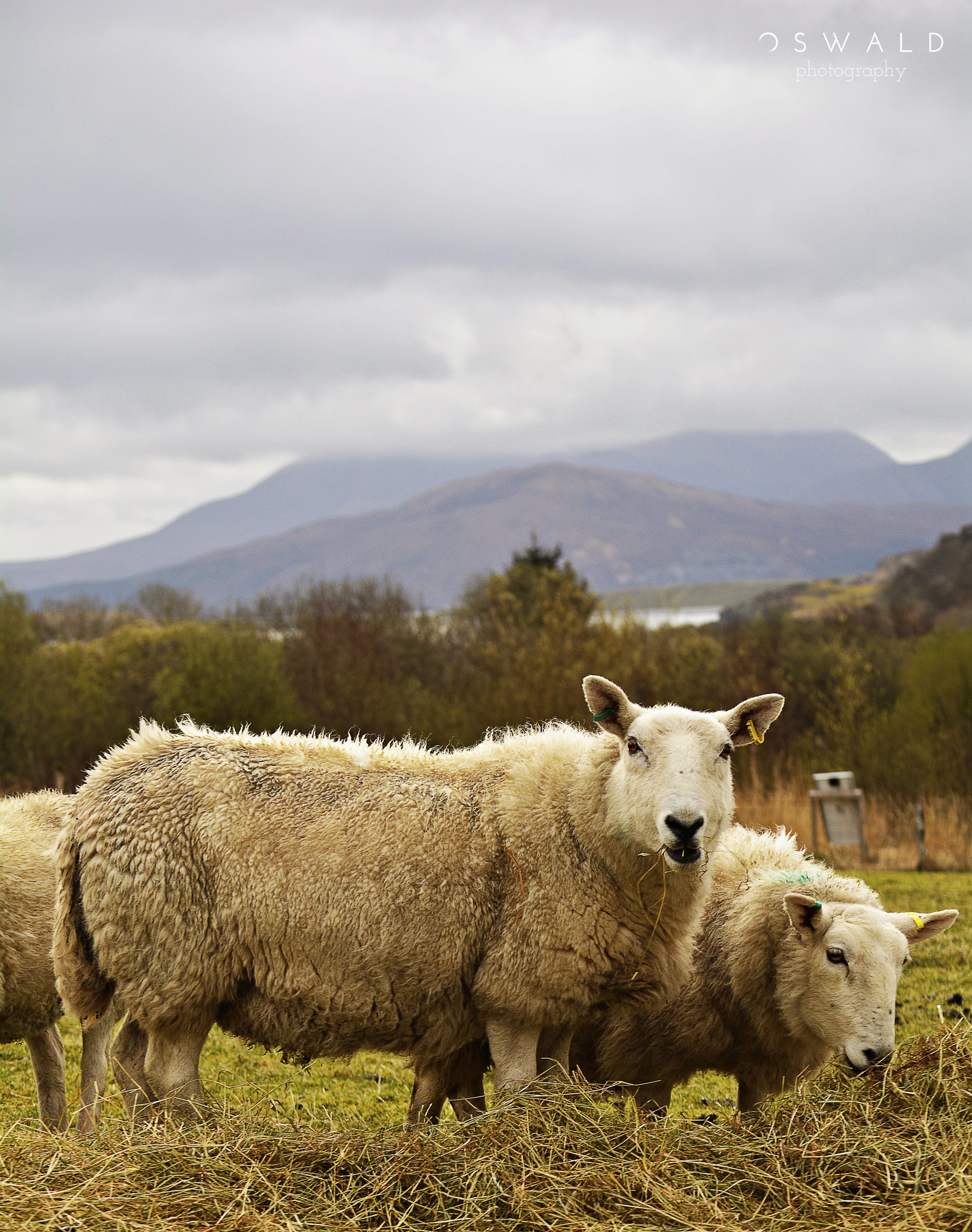 Photography of two sheep chewing on alfalfa in a lush field on the Isle of Skye, Scotland with a dramatic background