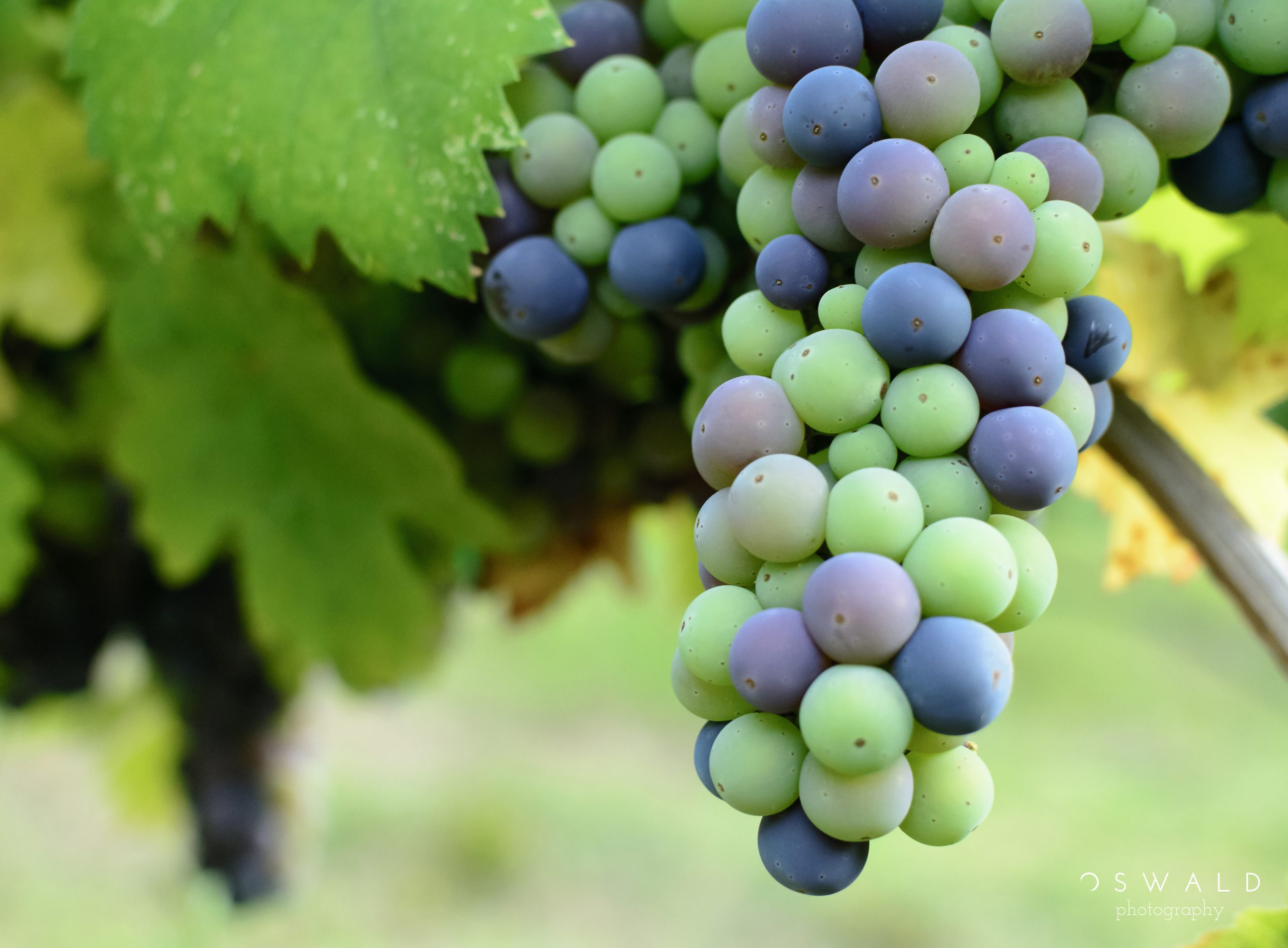 Photography of a bunch of grapes hanging on the vine, with the individual grapes in various stages of ripening.