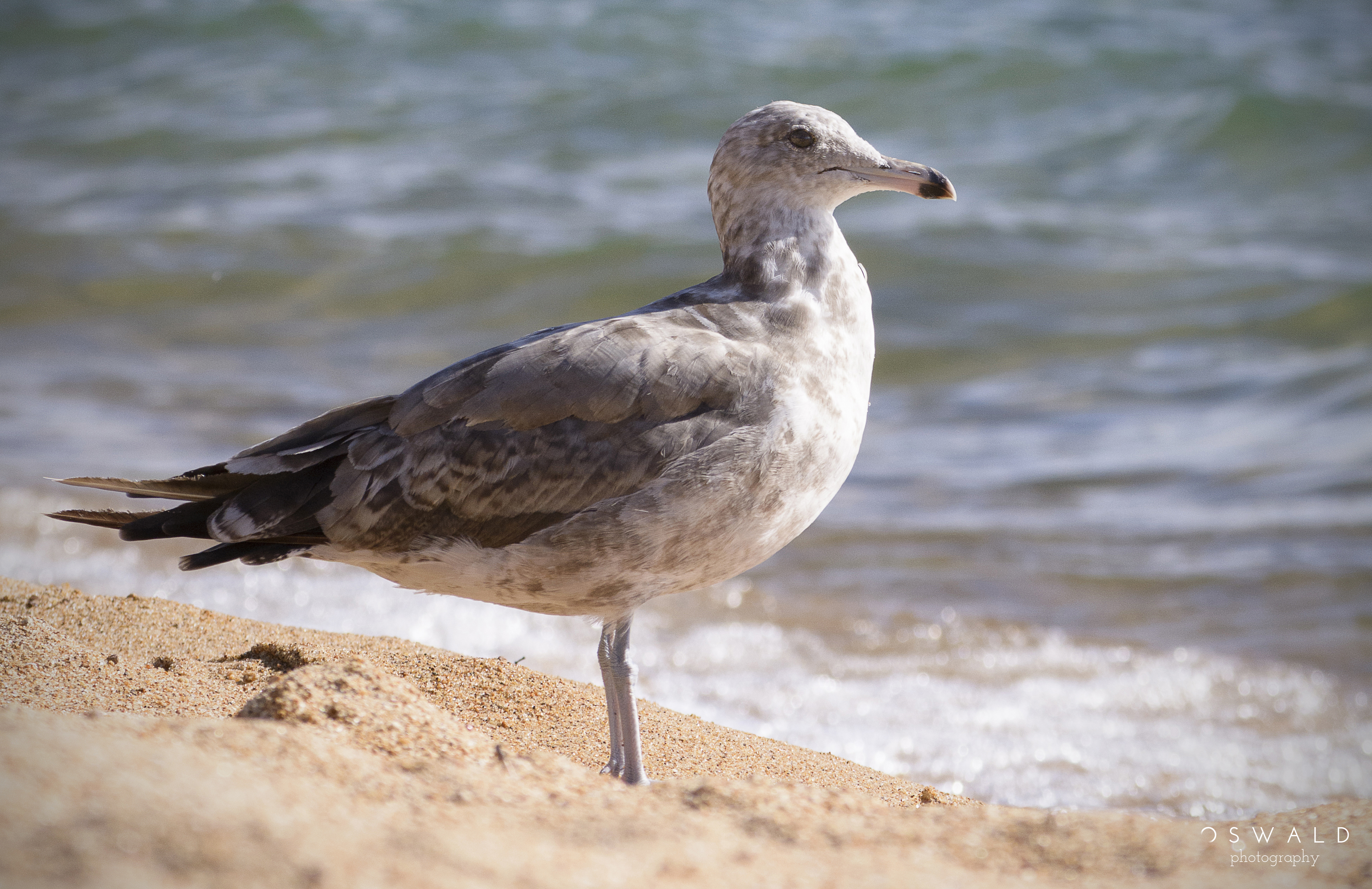 Sharp focus upon a single seagull standing at peace on sandy shores of Lake Tahoe in Nevada.