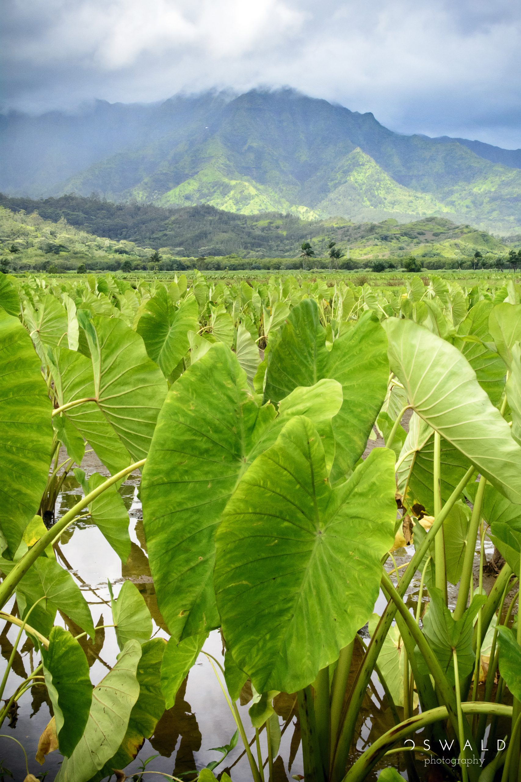 A closeup photograph of lush taro root foliage with moody Kauai mountain landscape in the background.