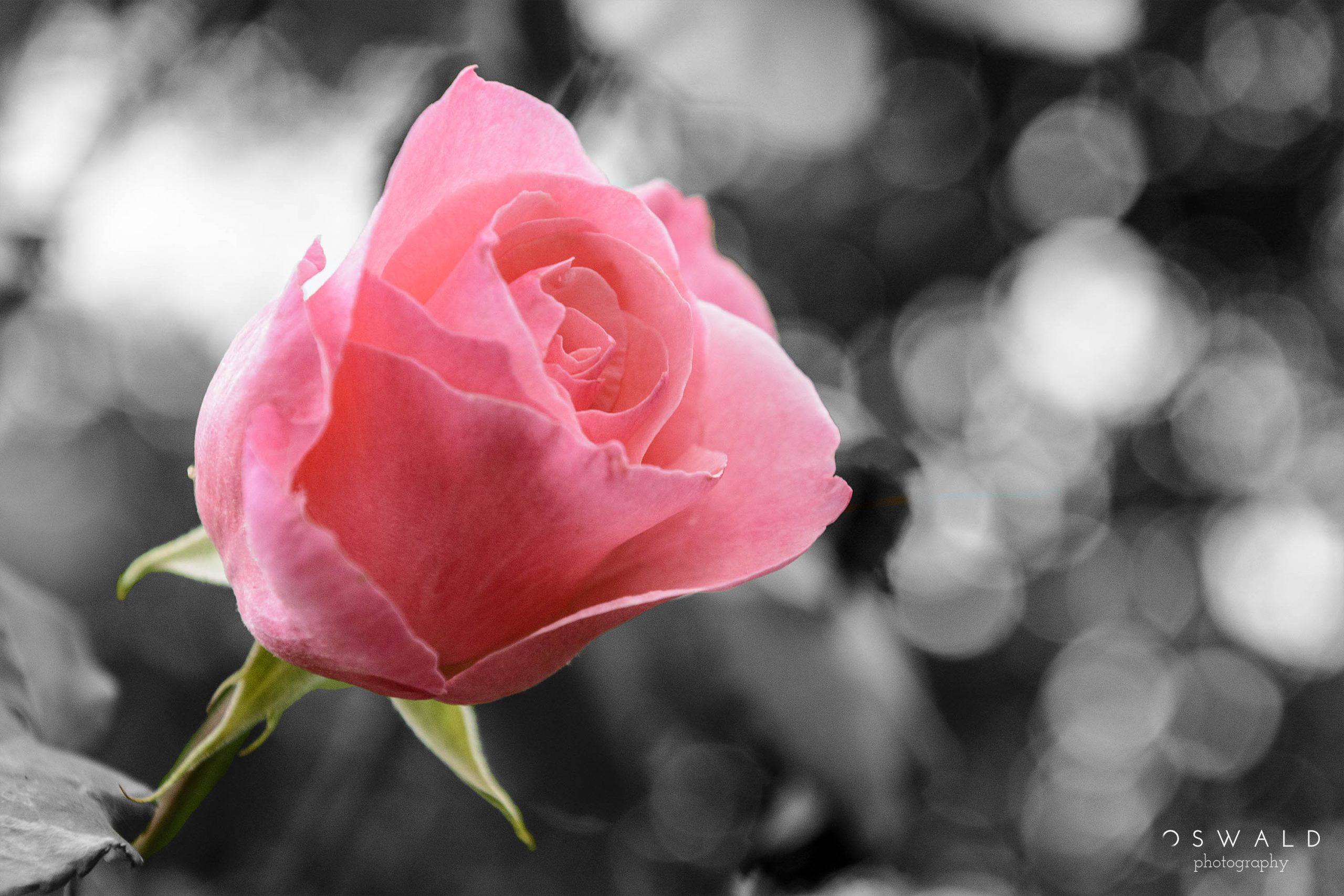 Photograph of a pink rose against a blurred out monochrome background.