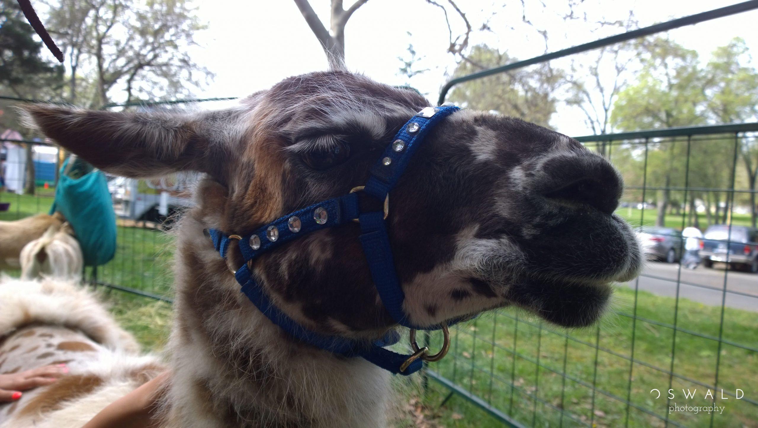 Photograph of a llama on display at a petting zoo