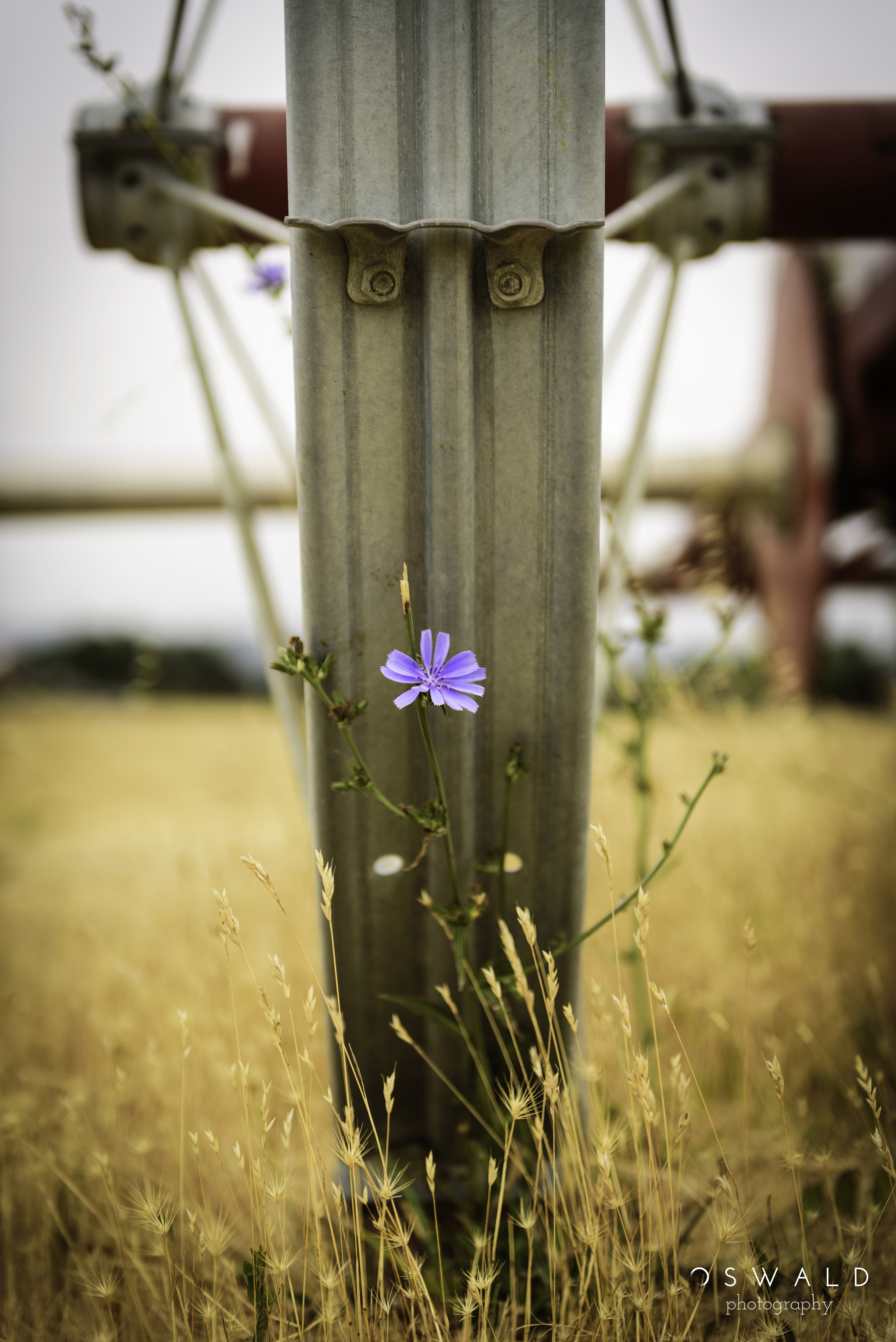 A purple flower shoots upright just beneath one of the steel wheels of an old farmland irrigation system.