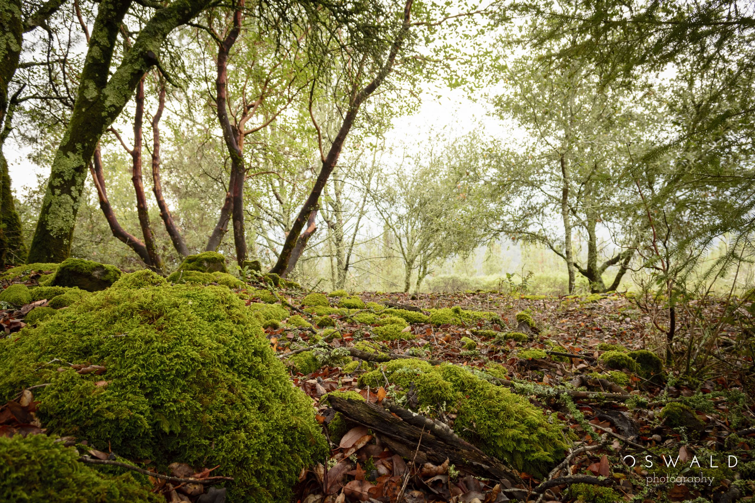 A misty landscape photograph of the woods between the Napa and Sonoma Valleys.