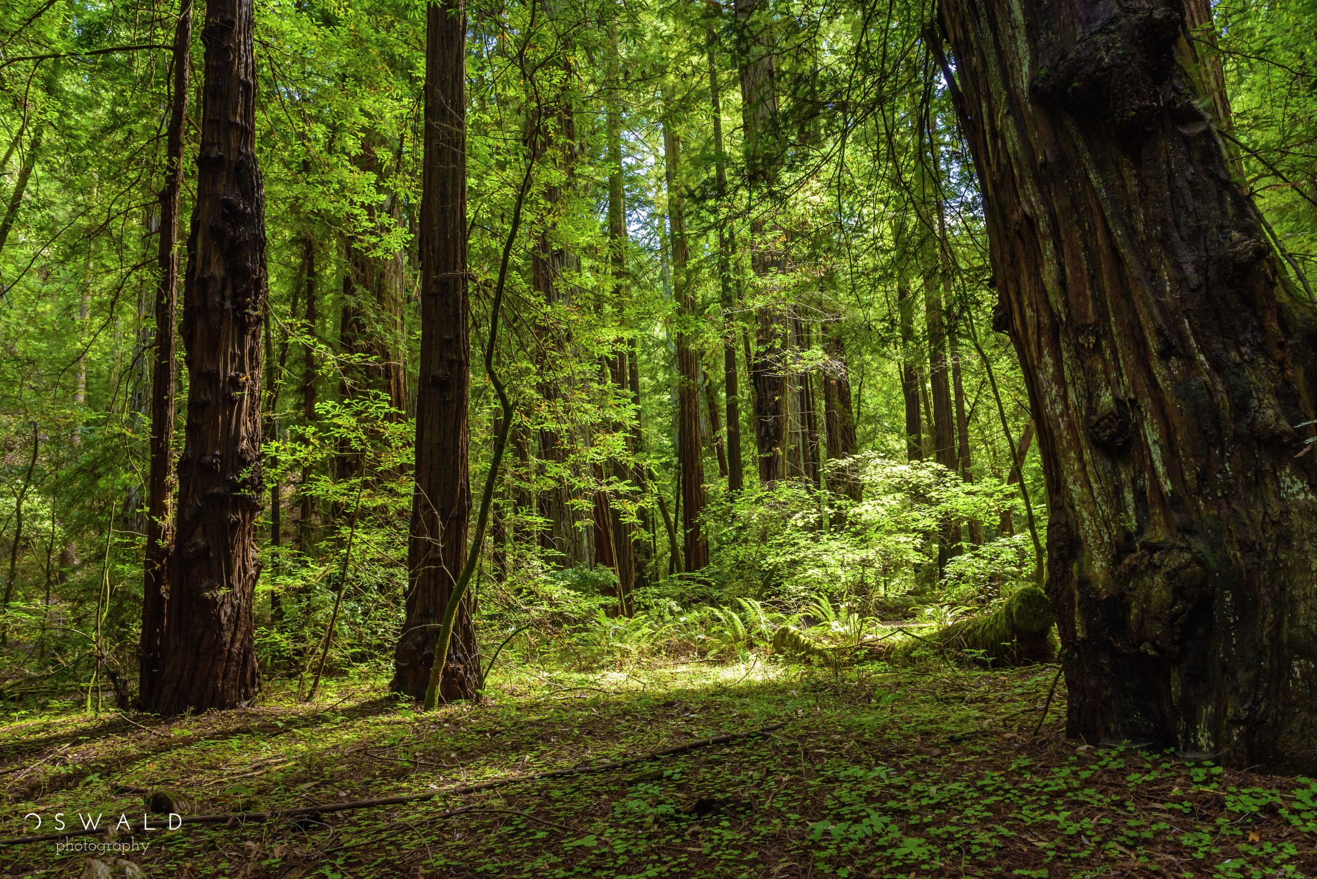 A photograph of light breaking through the dense canopy of gigantic redwood trees at Armstrong Redwoods State Park.