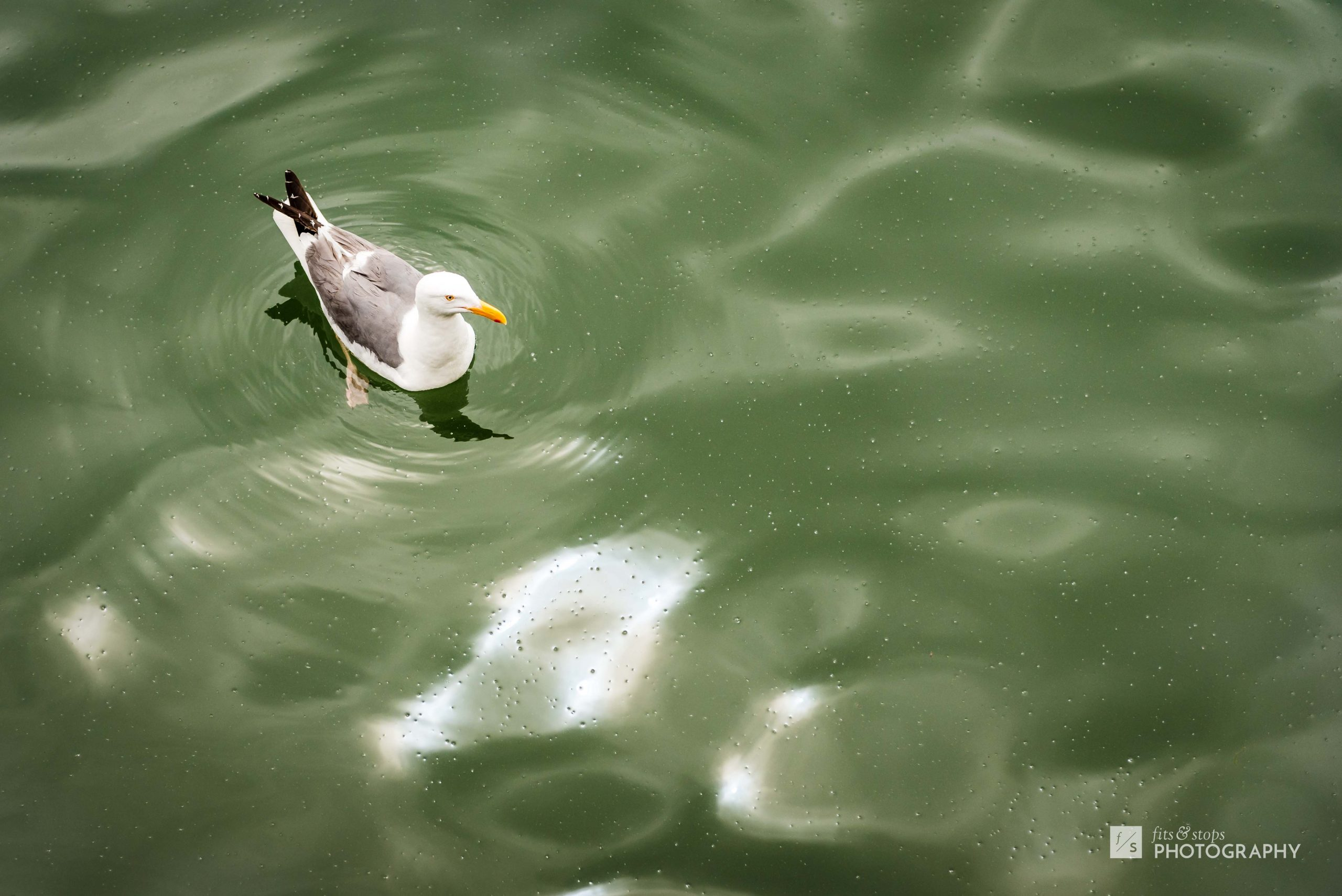 A lone seagull bob on the surface of shallow green waters at a pier in Bodega Bay, California.
