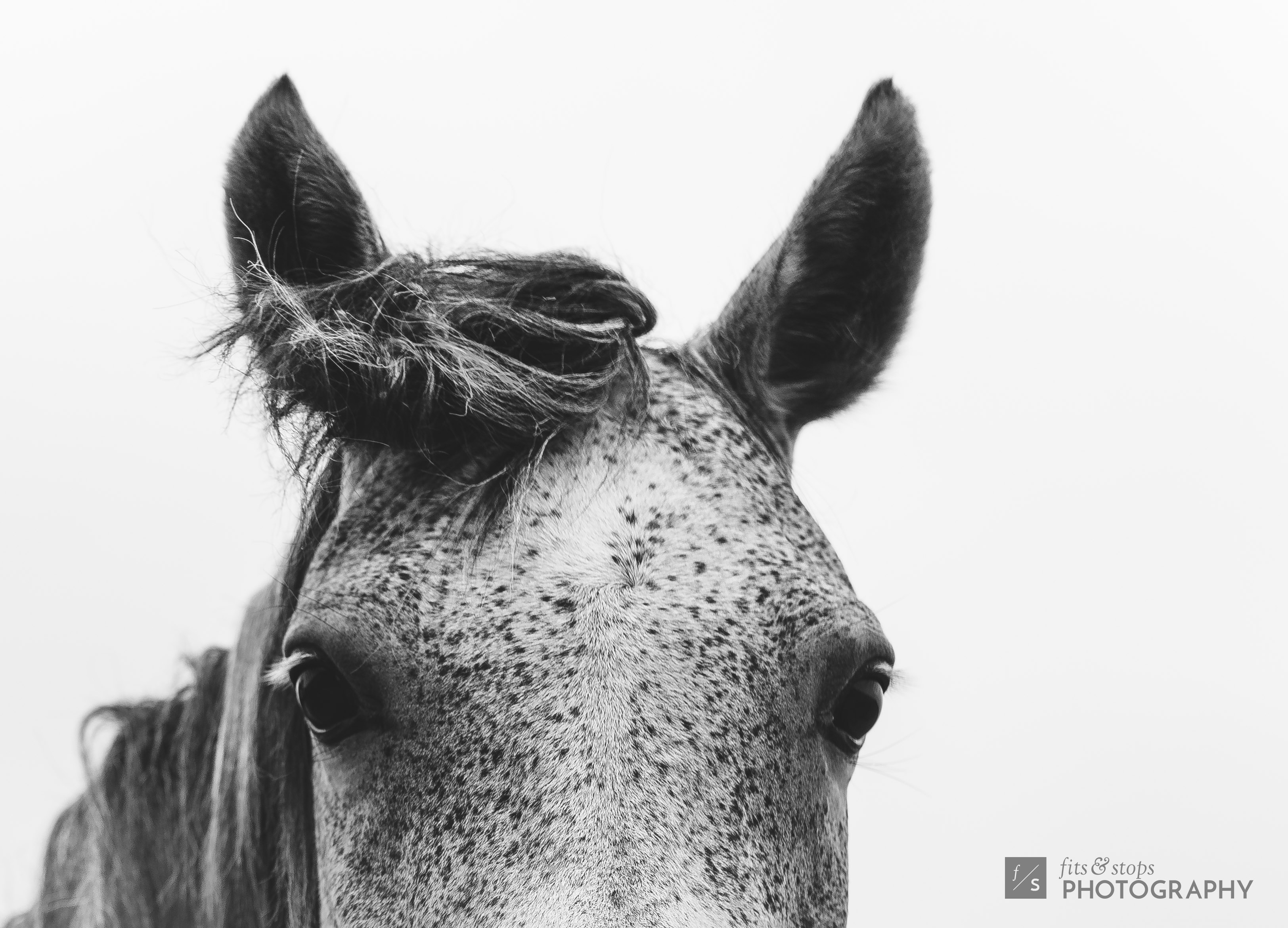 A close up, black and white photograph of a horse with speckled hair, looking directly at the camera with ears perked upright