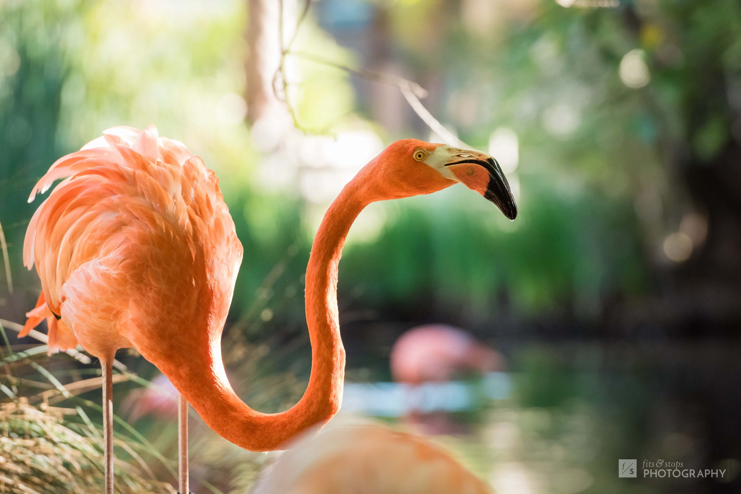 A photo of a flamingo with an oxbow neck peers out over his home in the nearby pond at the Sacramento Zoo.