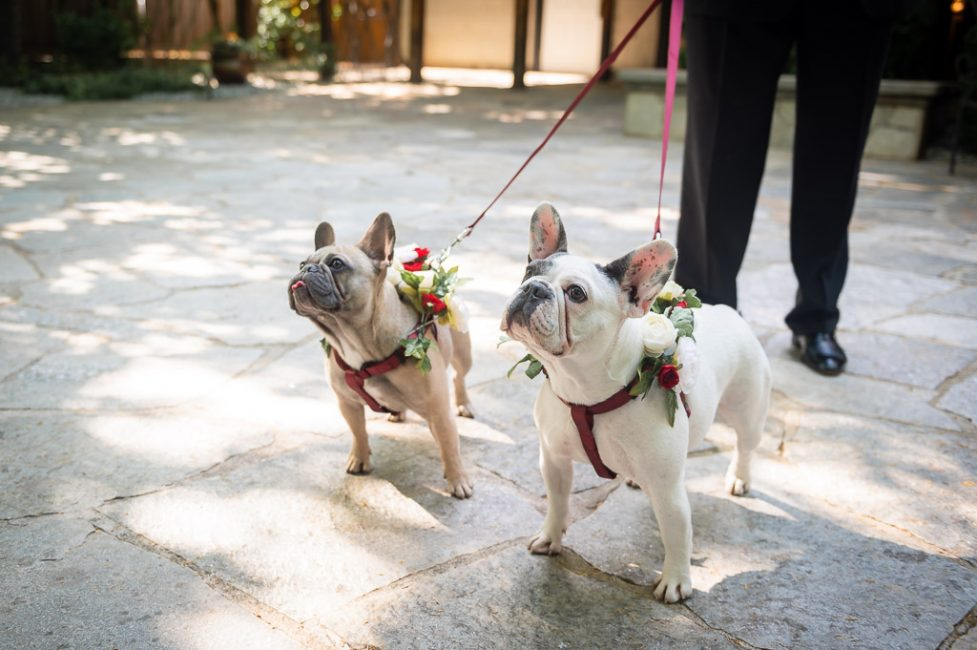 French Bulldogs are dressed with flower collars in preparation for a wedding ceremony.