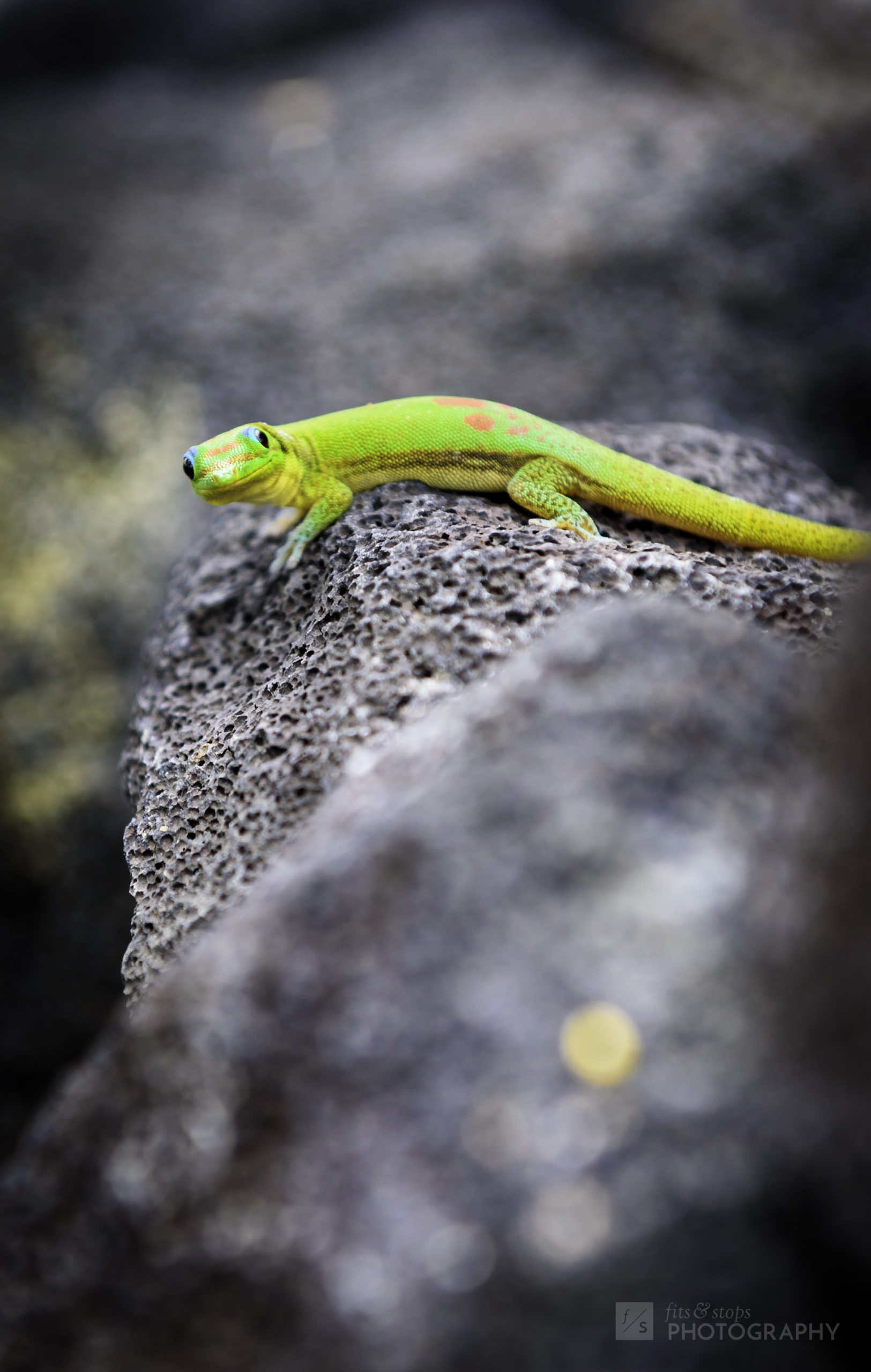 A portrait photograph of a gecko akin to the Geico mascot sits perched on a rock at the City of Refuge in Hawaii, United States.